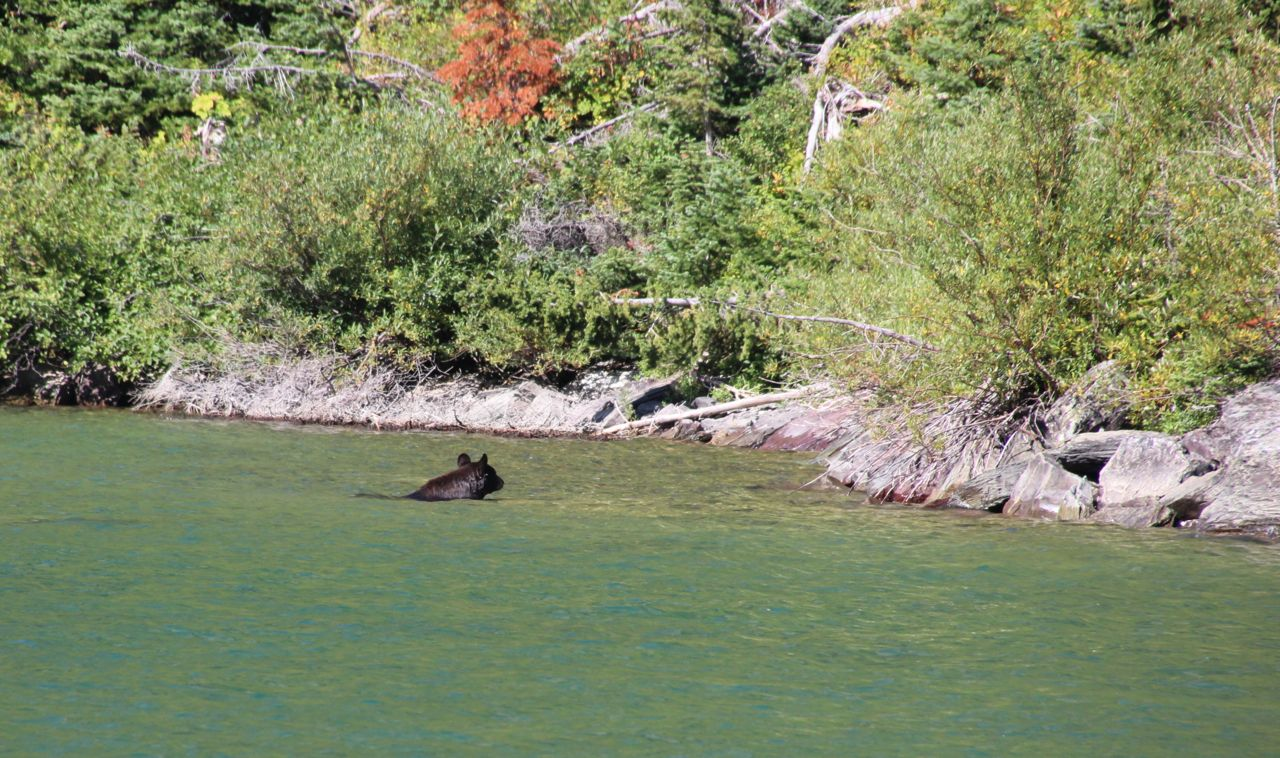 Swimming bear at lake Josephine